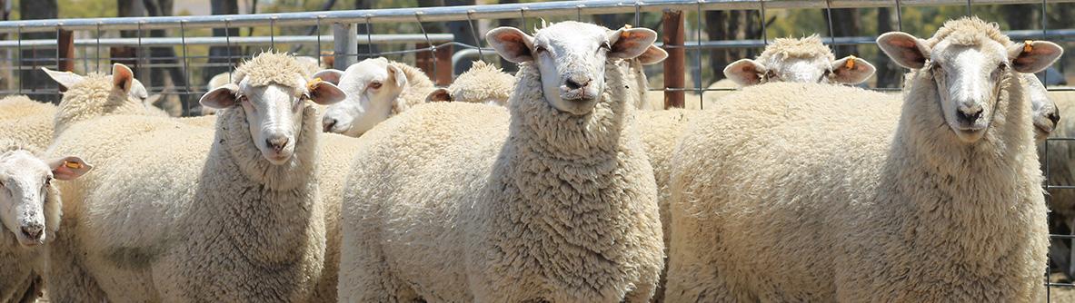 Gemini Prime Lamb Studs - Studs