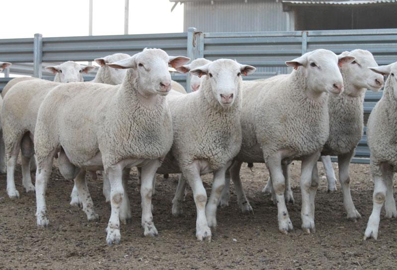 GEMINI---30-July---Caption---Selection-of-Gemini-Prime-Lamb's-high-performance-flock-rams(1)
